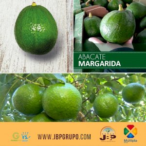 Avocado | Aguacate | Abacate Margarida