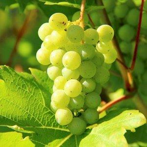 Arrivée du raisin Italia pour vos commandes chez Jeanningros à Marseille