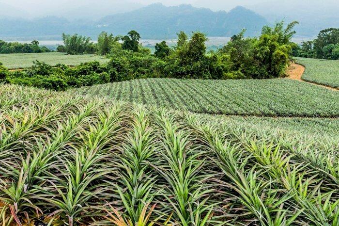 Costa Rica, Ananas et Bio-Charbon