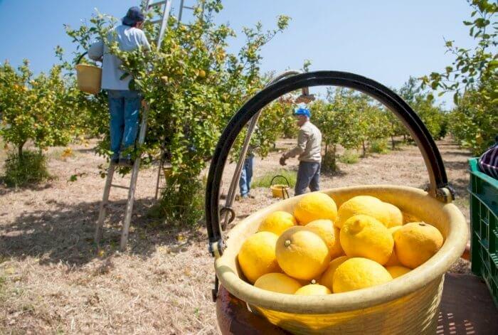 Citron production mondiale