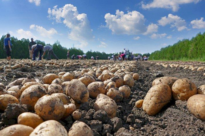 La France championne du monde des exportations de pommes de terre