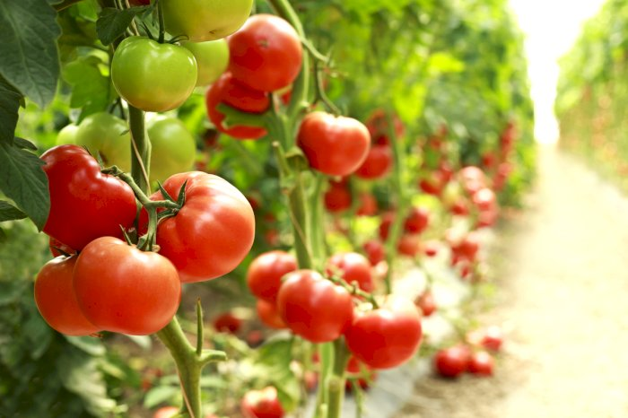 Tomate, coup d'oeil sur la production mondiale