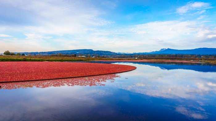 The medicinal properties of cranberries