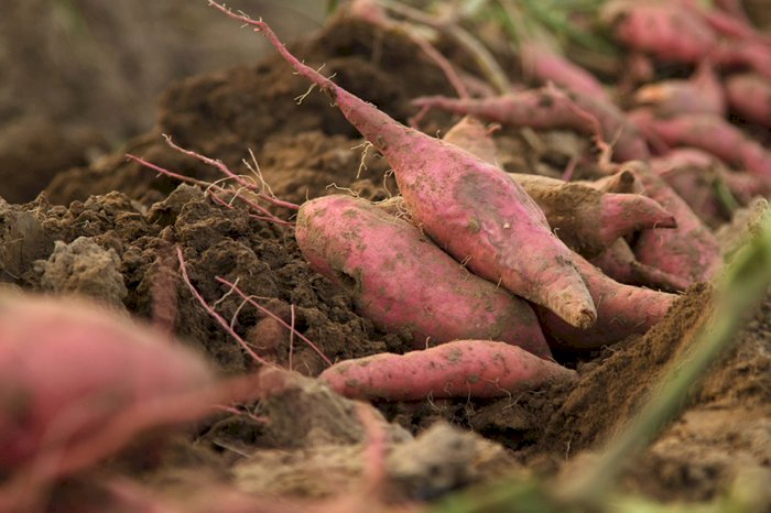 Everywhere in the world, sweet potatoes have gained ground