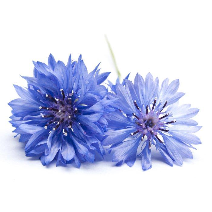 Aciano (flor)