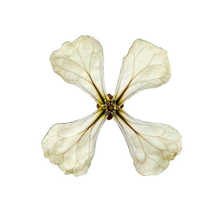 Fleur De Roquette