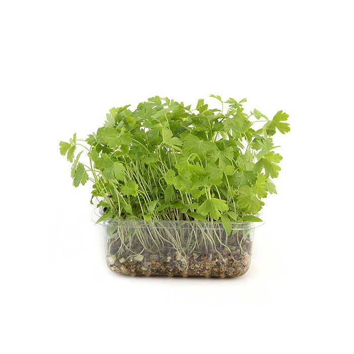 Flat Parsley Cress