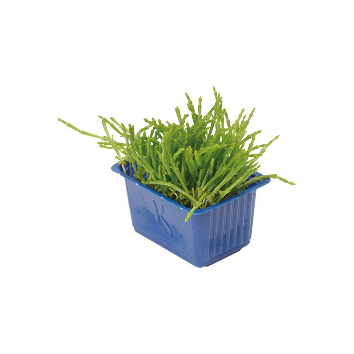 Samphire Cress