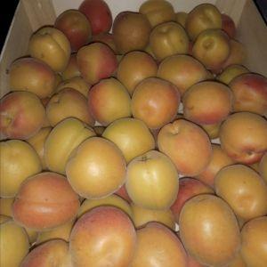Apricot Faralia