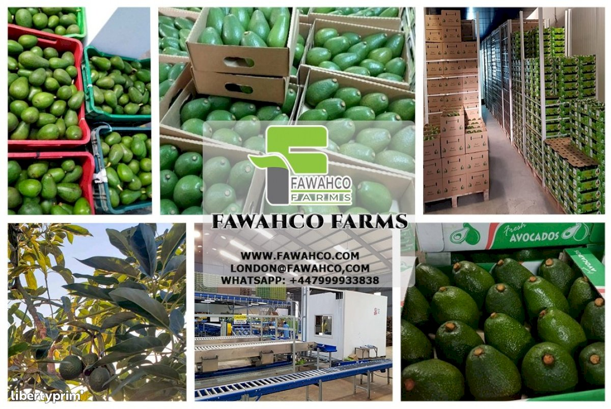 Aguacate Categoría 1 Kenia Productor Convencional - FawahCo Farms   Libertyprim