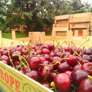 Cherry Bigarreau