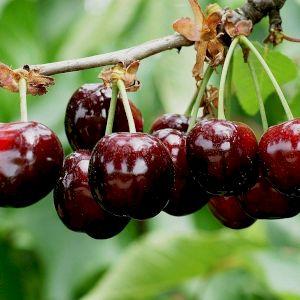 Cherry Burlat