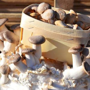 Mushroom Eryngii