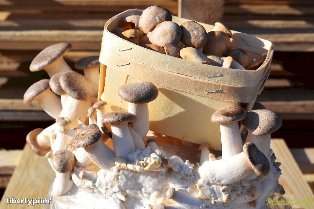 Mushroom Eryngii France Organic Grower - PLEURETTE | Libertyprim
