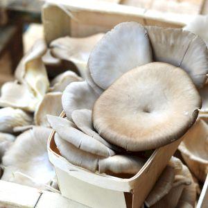 Mushroom Pleurote France