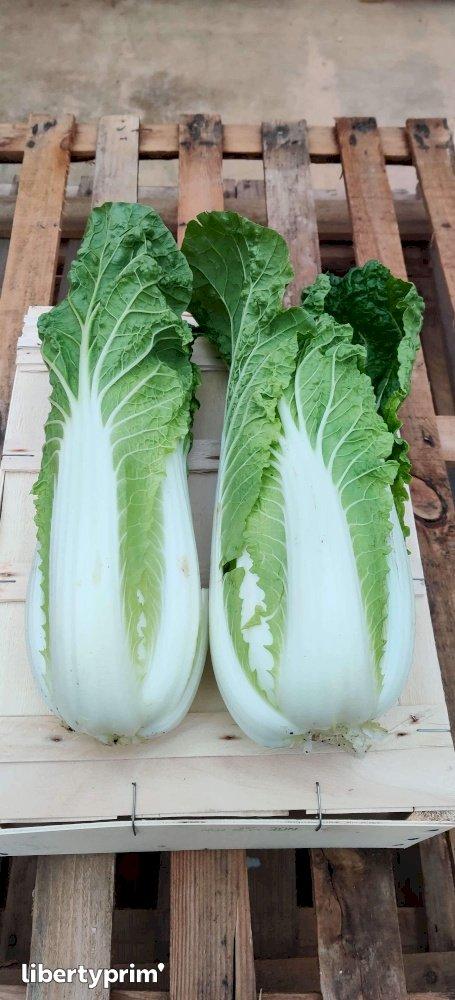 Cabbage Chinese France Organic Grower - Sarl.lisathier | Libertyprim