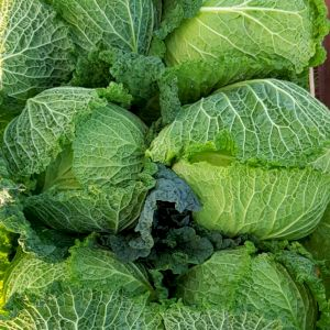 Cabbage Milan
