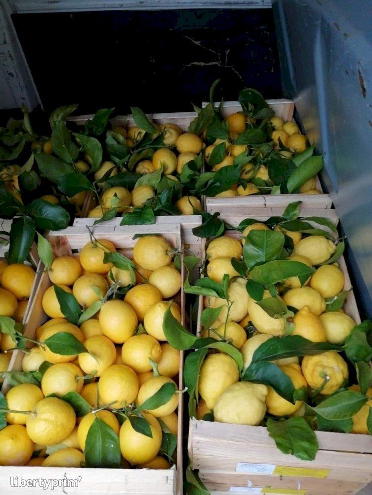 Lemon Class 2 France Conventional Grower - TAMONTE EVELYNE FRANCOISE | Libertyprim