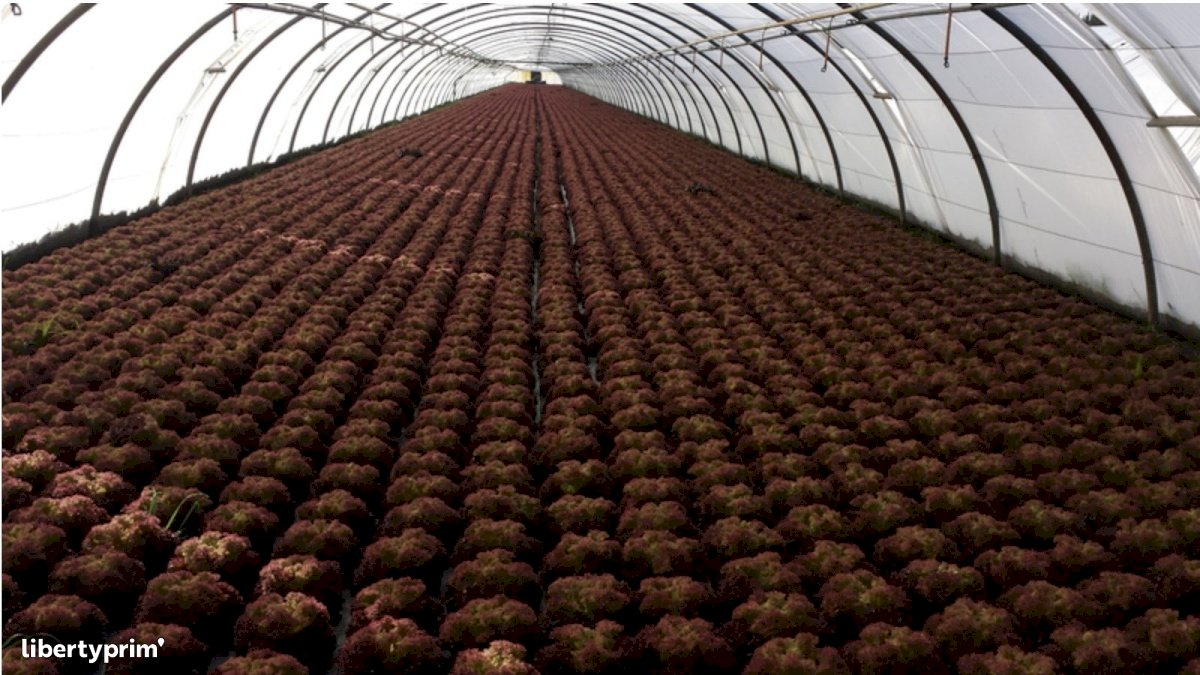 Red Oak Leaf Class 1 France Conventional Grower - LES-RUBIS-DE-LANSAC   Libertyprim