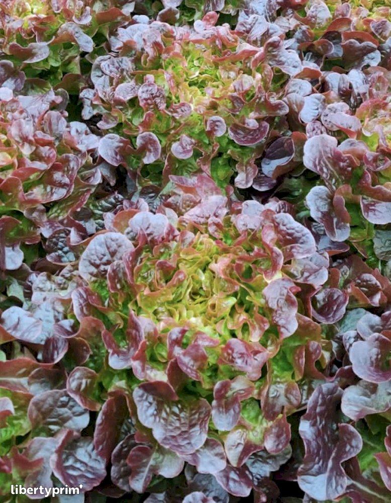 Red Oak Leaf France Organic Grower - Sarl.lisathier | Libertyprim