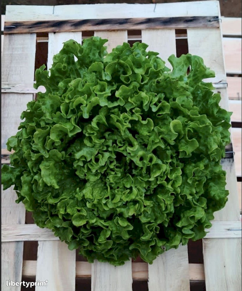 Green Oak Leaf France Organic Grower - Sarl.lisathier | Libertyprim