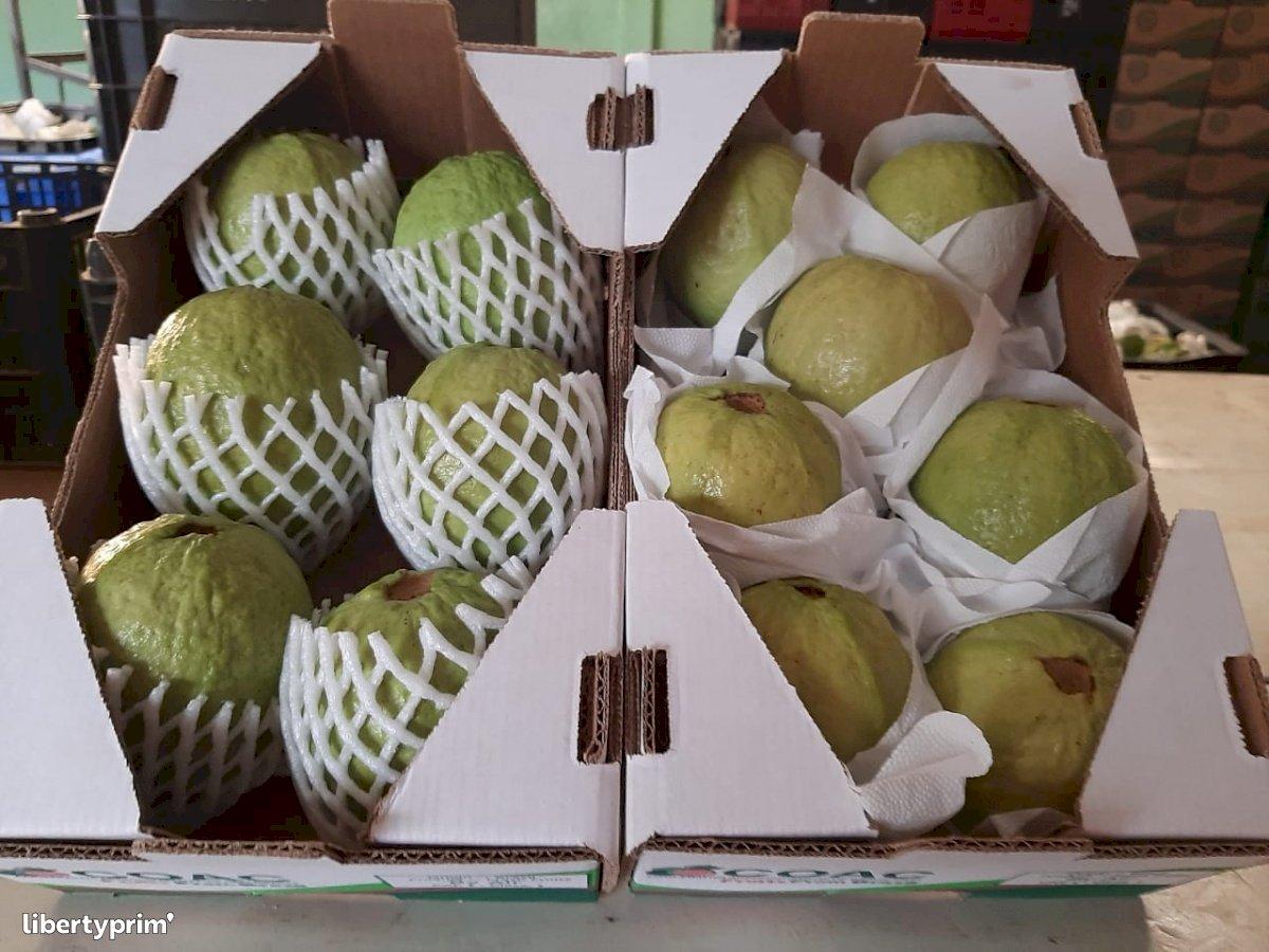 Guava Extra Brazil Exporter - Multipla Comex | Libertyprim