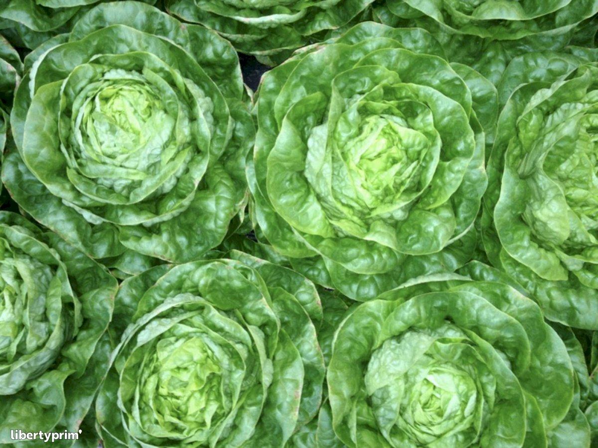 Lettuce Class 1 France Conventional Grower - LES-RUBIS-DE-LANSAC | Libertyprim