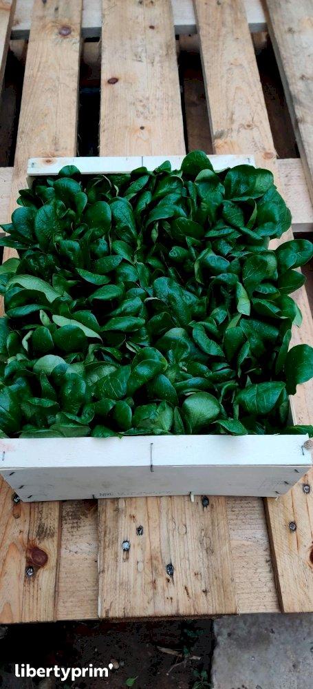Lamb's Lettuce Extra France Organic Grower - Sarl.lisathier   Libertyprim