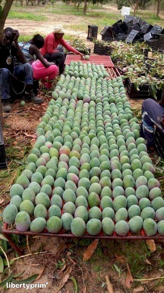 Mango Kent Extra Ivory Coast Exporter - Idriss | Libertyprim