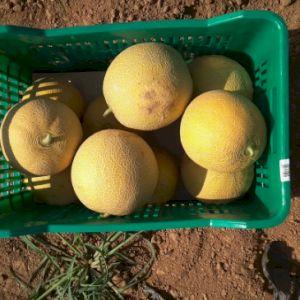 Melon Green Galia
