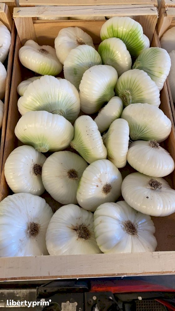 Onion White Italian Class 1 Italy Conventional Grower - Peruzzo | Libertyprim