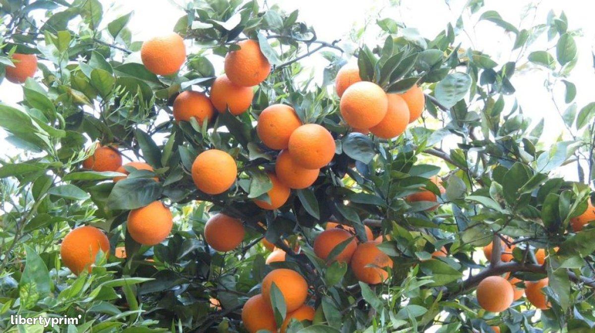 Orange Lane Late Class 1 Morocco Import/export - agro77 | Libertyprim