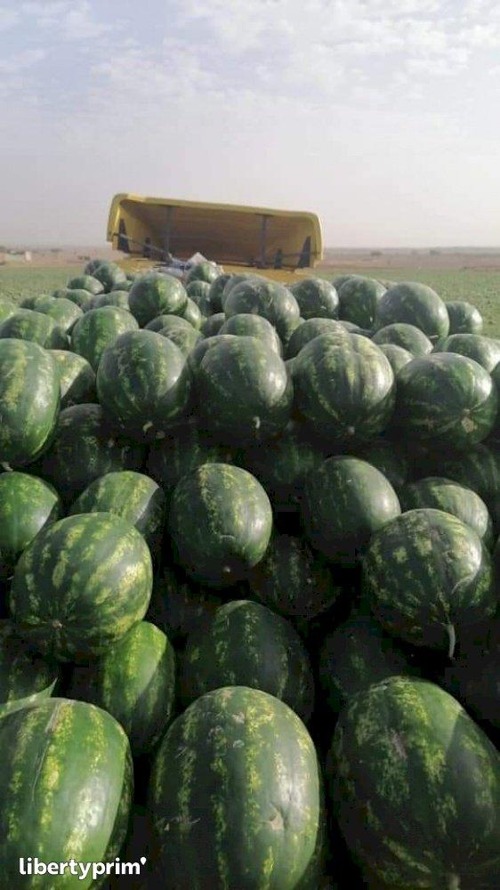 Watermelon Class 1 Morocco Import/export - agro77 | Libertyprim