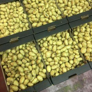 Potato Agria