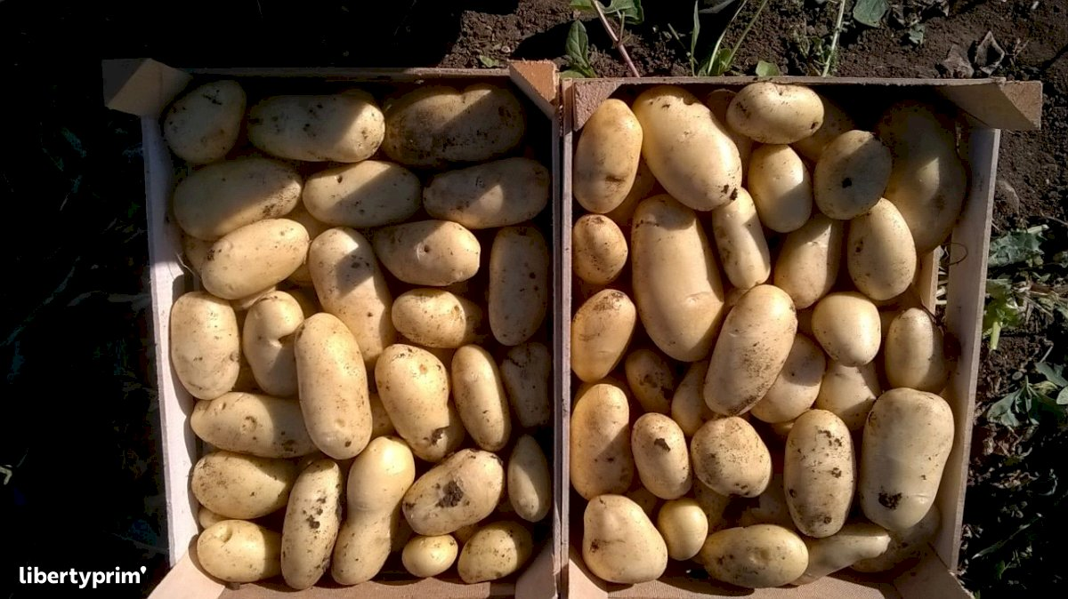 Potato Monalisa Class 1 Italy Organic Grower - Patty21 | Libertyprim