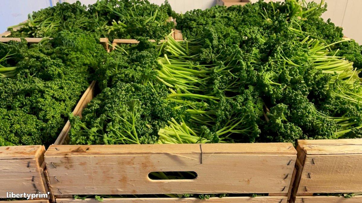 Parsley Simple Extra Italy Conventional Grower - Peruzzo | Libertyprim
