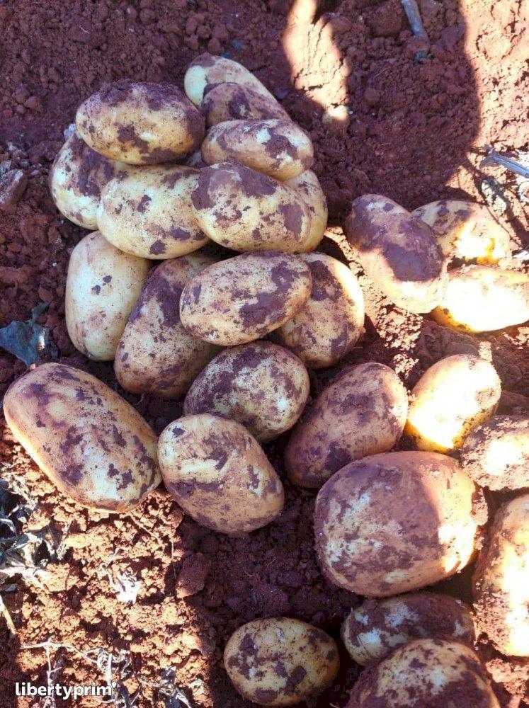 Potato Spunta Class 1 Morocco Import/export - agro77 | Libertyprim