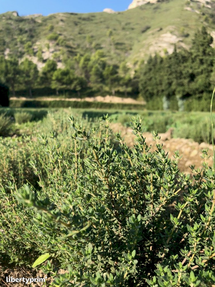 Thyme Dry France Organic Grower - Maxime.L | Libertyprim