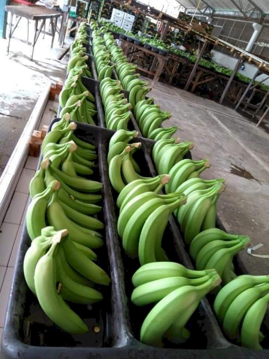 Colbananos export